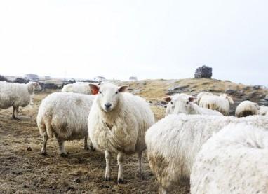 Schafe in Røros